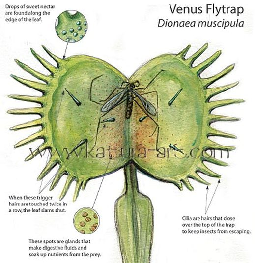 venus fly trap venus fly trap rh naturesvenusflytrap weebly com venus fly trap diagram labeled origami venus fly trap diagram