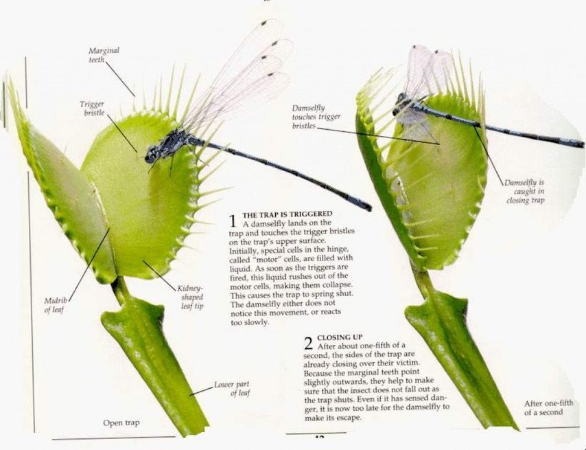 venus fly trap venus fly trap rh naturesvenusflytrap weebly com venus fly trap diagram with labels venus fly trap diagram with labels